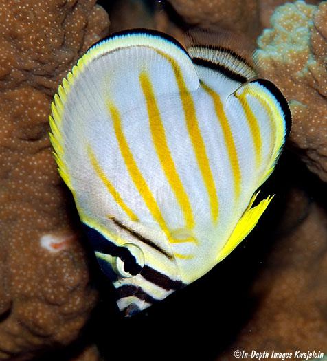 J And J Corals Chaetodon ornatissimus